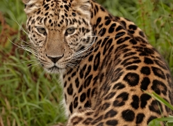 amur-leopard3016-hertfordshire-copyright-photographers-on-safari-com