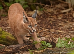 caracal-2979-hertfordshire-copyright-photographers-on-safari-com