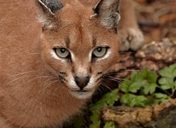 caracal-2980-hertfordshire-copyright-photographers-on-safari-com