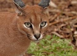 caracal-2982-hertfordshire-copyright-photographers-on-safari-com