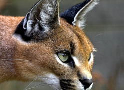 caracal-2984-hertfordshire-copyright-photographers-on-safari-com