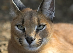 caracal-2985-hertfordshire-copyright-photographers-on-safari-com