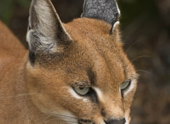 caracal-2990-hertfordshire-copyright-photographers-on-safari-com