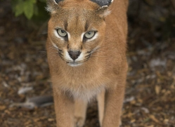 caracal-2991-hertfordshire-copyright-photographers-on-safari-com