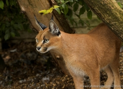 caracal-2992-hertfordshire-copyright-photographers-on-safari-com