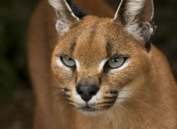 caracal-2993-hertfordshire-copyright-photographers-on-safari-com