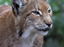 lynx-3020-hertfordshire-copyright-photographers-on-safari-com