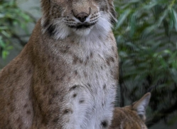 lynx-3024-hertfordshire-copyright-photographers-on-safari-com