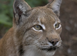 lynx-3027-hertfordshire-copyright-photographers-on-safari-com