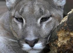 puma-mountain-lion3029-hertfordshire-copyright-photographers-on-safari-com