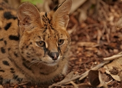 serval-2994-hertfordshire-copyright-photographers-on-safari-com
