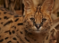 serval-2995-hertfordshire-copyright-photographers-on-safari-com