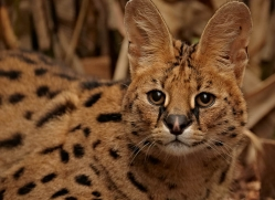 serval-2996-hertfordshire-copyright-photographers-on-safari-com