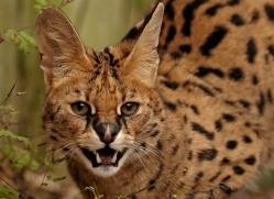 serval-2997-hertfordshire-copyright-photographers-on-safari-com