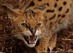 serval-2998-hertfordshire-copyright-photographers-on-safari-com