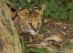 serval-3001-hertfordshire-copyright-photographers-on-safari-com