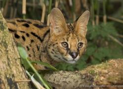 serval-3002-hertfordshire-copyright-photographers-on-safari-com