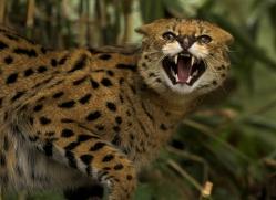 serval-3004-hertfordshire-copyright-photographers-on-safari-com