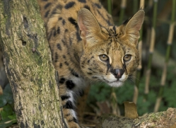 serval-3006-hertfordshire-copyright-photographers-on-safari-com
