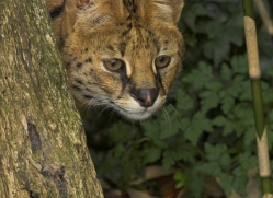 serval-3007-hertfordshire-copyright-photographers-on-safari-com