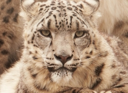 snow-leopard-3031-hertfordshire-copyright-photographers-on-safari-com