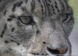 snow-leopard-3032-hertfordshire-copyright-photographers-on-safari-com