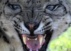 snow-leopard-3036-hertfordshire-copyright-photographers-on-safari-com