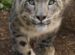snow-leopard-3037-hertfordshire-copyright-photographers-on-safari-com