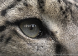 snow-leopard-3039-hertfordshire-copyright-photographers-on-safari-com