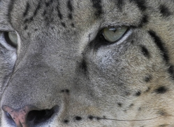 snow-leopard-3041-hertfordshire-copyright-photographers-on-safari-com