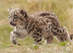 snow-leopard-cub3042-hertfordshire-copyright-photographers-on-safari-com