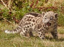 snow-leopard-cub3044-hertfordshire-copyright-photographers-on-safari-com