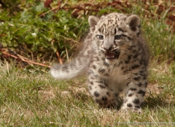 snow-leopard-cub3045-hertfordshire-copyright-photographers-on-safari-com