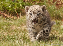snow-leopard-cub3046-hertfordshire-copyright-photographers-on-safari-com