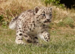 snow-leopard-cub3050-hertfordshire-copyright-photographers-on-safari-com