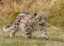 snow-leopard-cub3051-hertfordshire-copyright-photographers-on-safari-com