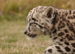 snow-leopard-cub3052-hertfordshire-copyright-photographers-on-safari-com