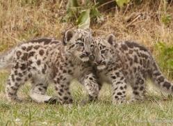 snow-leopard-cub3053-hertfordshire-copyright-photographers-on-safari-com