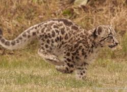 snow-leopard-cub3057-hertfordshire-copyright-photographers-on-safari-com