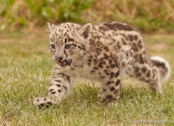 snow-leopard-cub3059-hertfordshire-copyright-photographers-on-safari-com
