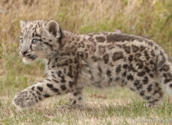 snow-leopard-cub3063-hertfordshire-copyright-photographers-on-safari-com