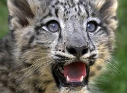 snow-leopard-cub3065-hertfordshire-copyright-photographers-on-safari-com