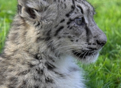 snow-leopard-cub3073-hertfordshire-copyright-photographers-on-safari-com