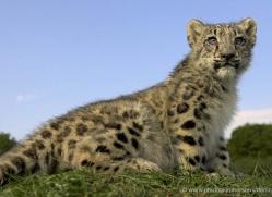 snow-leopard-cub3075-hertfordshire-copyright-photographers-on-safari-com
