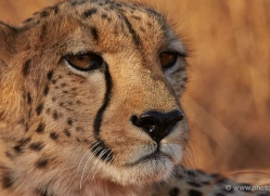 cheetah-4358-botswana-copyright-photographers-on-safari-1