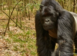 mountain-gorilla-rwanda-3138-copyright-photographers-on-safari-com-1