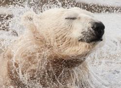 polar-bear-4259-capercaille-copyright-photographers-on-safari-com-1