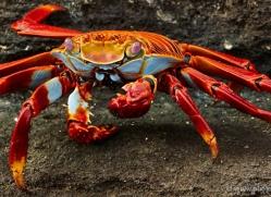 sally-lightfoot-crab-1796-galapagos-copyright-photographers-on-safari-com-1