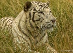 white-tiger-wolf-2547-hamerton-copyright-photographers-on-safari-com-1