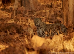 asian-leopard-copyright-photographers-on-safari-com-7264